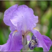 Délicatesse de l'iris