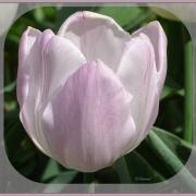 Tulipe rose  ...délicatesse