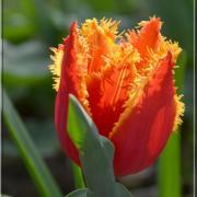 La tulipe et ses