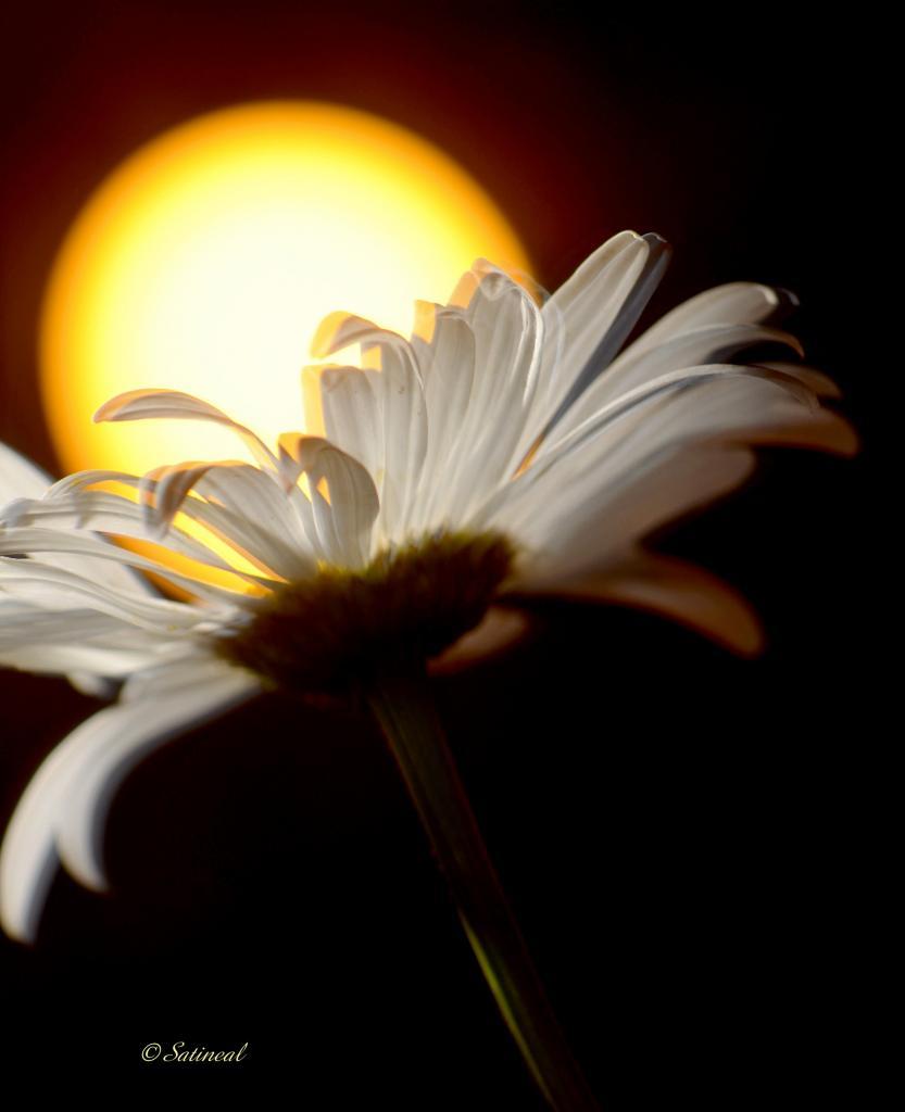 Attraper le soleil avec une fleur