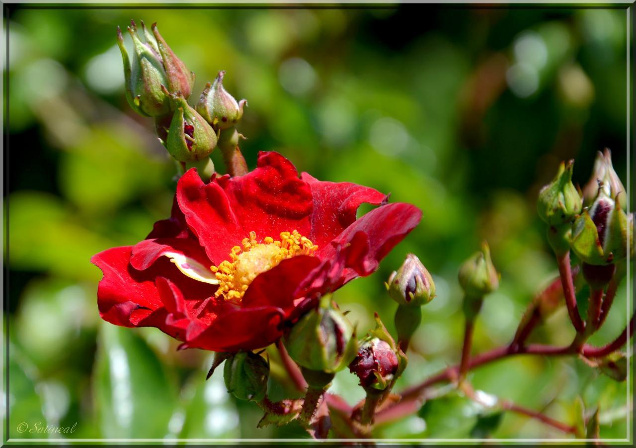 Petite rose ancienne