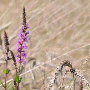 Coup de vent dans les blés