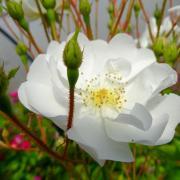 Rose  au doux nom de sourire d' orchidée