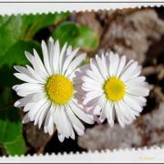 Duo de printemps