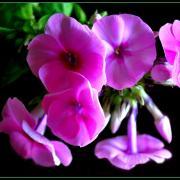 Farandole rose