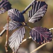 Les feuilles pourpres