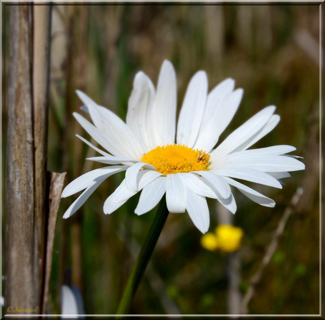Marguerite au bord de l'étang