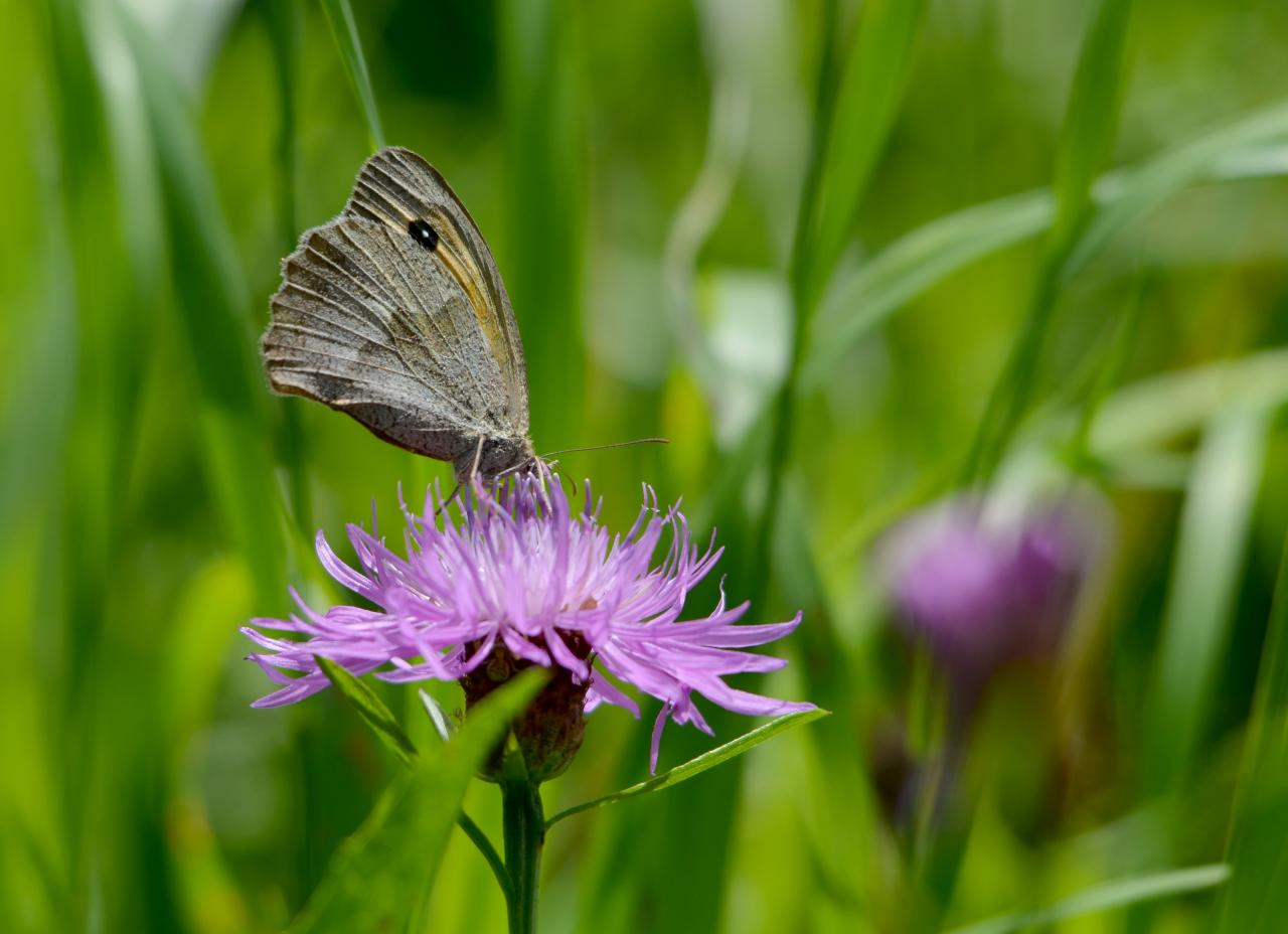 Plongée dans le nectar (le myrtil)