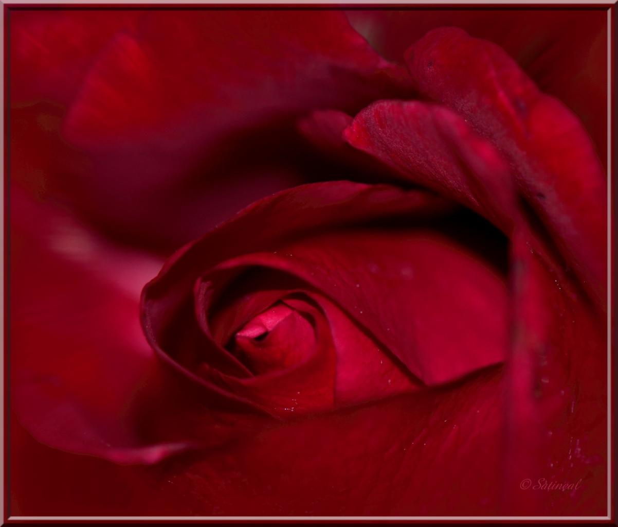 rose au coeur