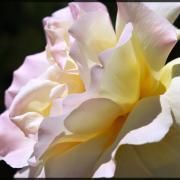 Rose de  lumière..
