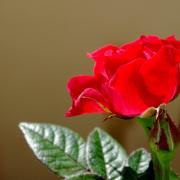 Rose, mais rouge