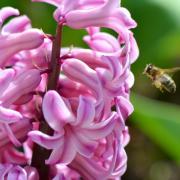 La jacinthe et l'abeille