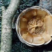La pomme de pin en coupe transversale